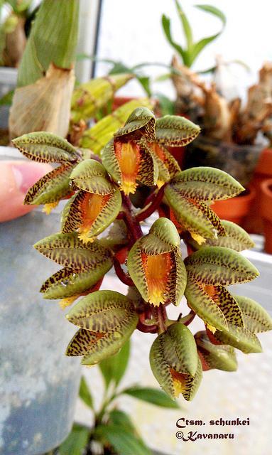Catasetum schunkei | Flickr - Photo Sharing!