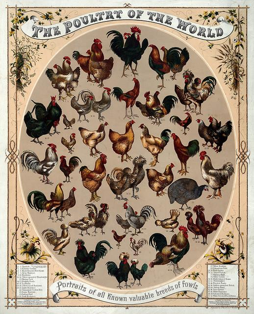 The poultry of the world, 1868 | Flickr - Photo Sharing!