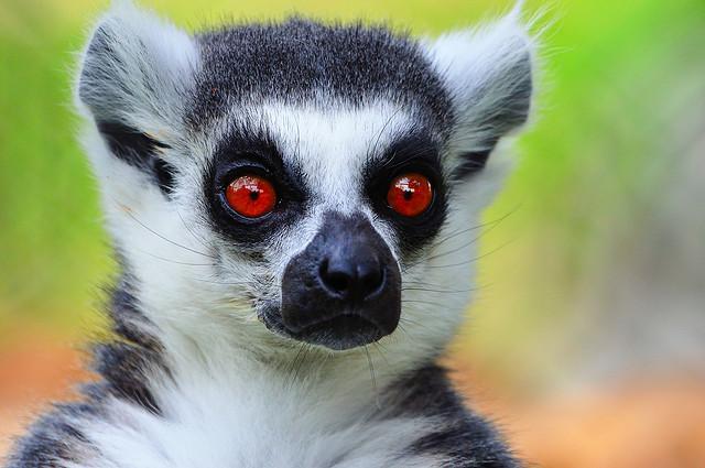 lemur | Flickr - Photo Sharing!