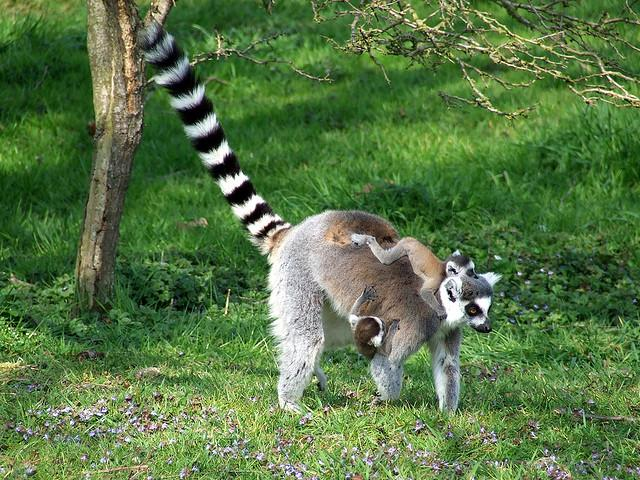Lemurs @ Africa Alive, Lowestoft | Flickr - Photo Sharing!