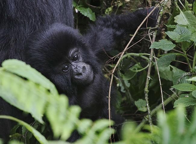 Sorpresa. I gorilla stanno bene | Repubblica Viaggi