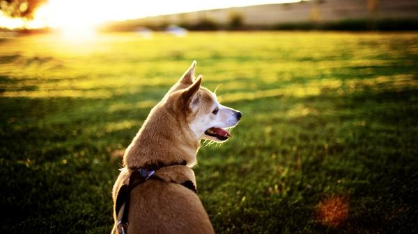 dogs,grass grass dogs shiba inu 1920x1080 wallpaper – Dogs Wallpapers – Free Desktop Wallpapers