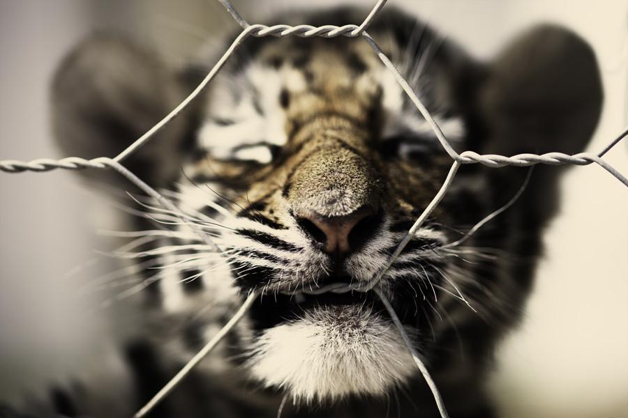 Tutte le dimensioni |tiger cub | Flickr – Condivisione di foto!