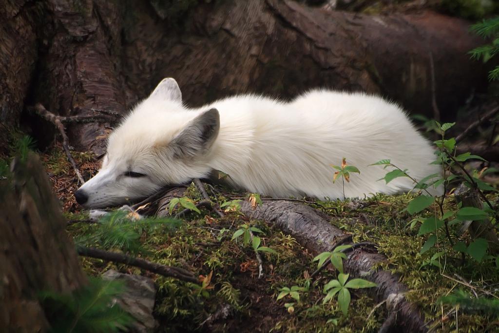 Tutte le dimensioni |Arctic Fox | Flickr – Condivisione di foto!