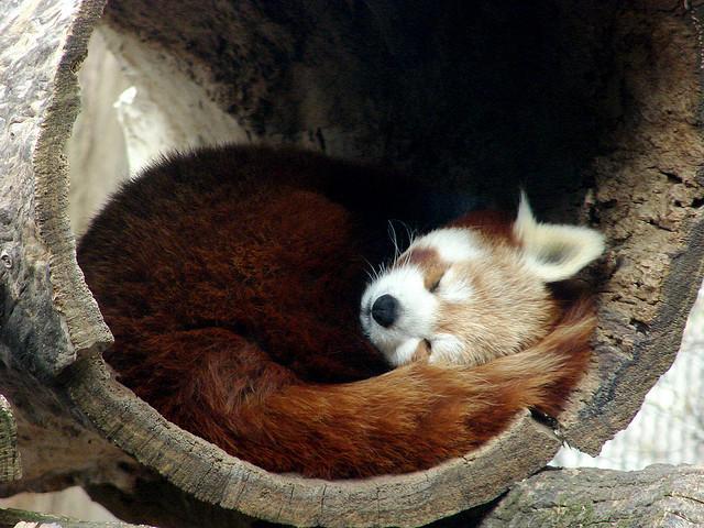 Tutte le dimensioni |Sleepy Red Panda | Flickr – Condivisione di foto!