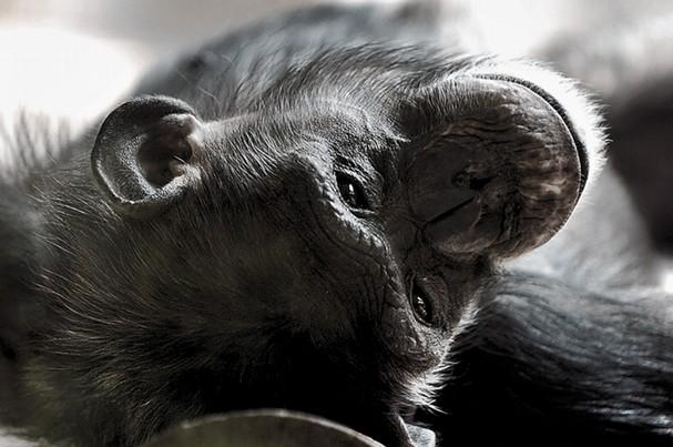 Chimpanzee at zoo dies unexpectedly » Knoxville News Sentinel