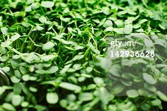 Getty Images - Search: legumes