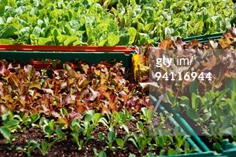 Getty Images - Search: lettuce sprouts