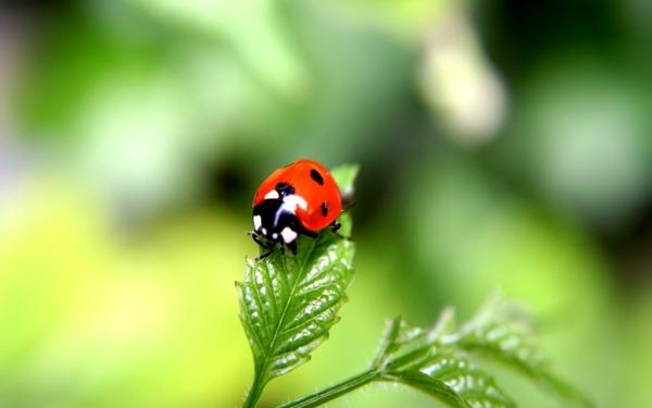 insects,bugs insects bugs macro ladybirds 1920x1200 wallpaper – Bugs Wallpapers – Free Desktop Wallpapers