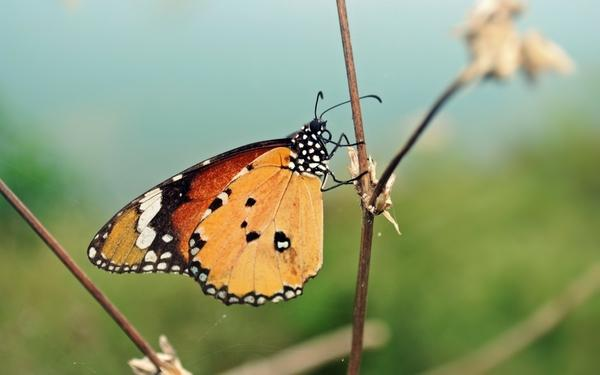 nature,butterfly nature butterfly animals insects summer 1920x1200 wallpaper – Butterflies Wallpapers – Free Desktop Wallpapers
