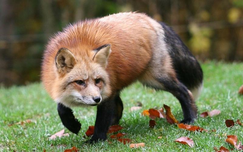 фото лисица для детей