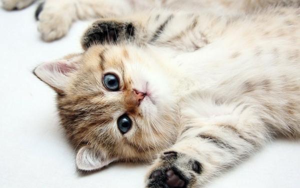 cats,lying down cats lying down kittens 1440x900 wallpaper – Cats Wallpapers – Free Desktop Wallpapers