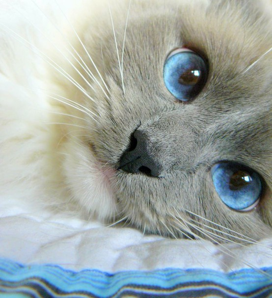 Cats! / blue eyes
