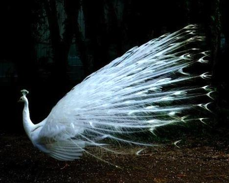 Albino and Half-Albino Peacocks Are Simply Stunning (Photos) : TreeHugger