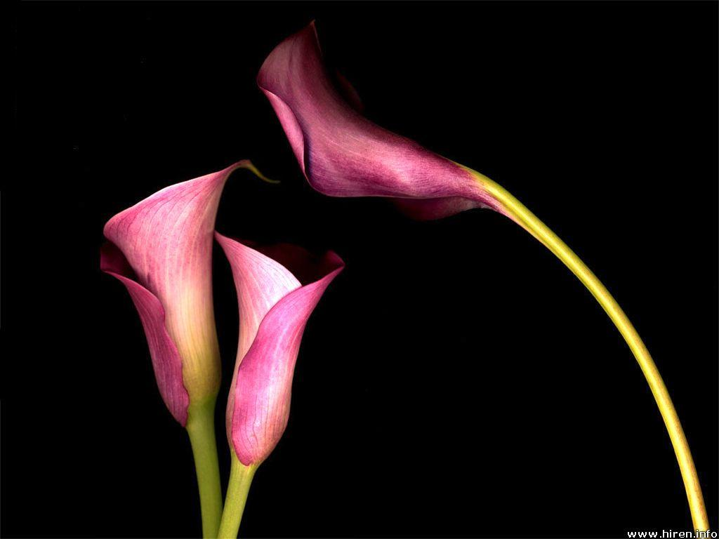 Pink_Calla_Lilies_Wallpaper_bnbo2.jpg 1,024×768 pixels