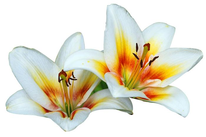 5790madonna_lilies.jpg 700×466 pixels