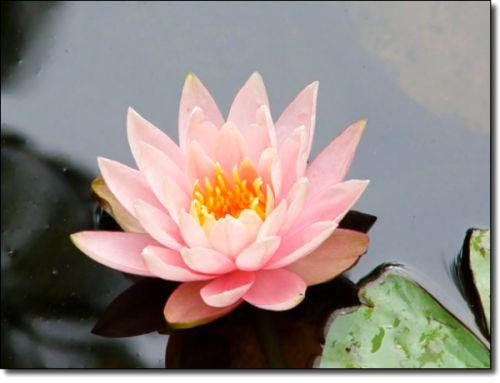 pink-lily500.jpg 500×383 pixels