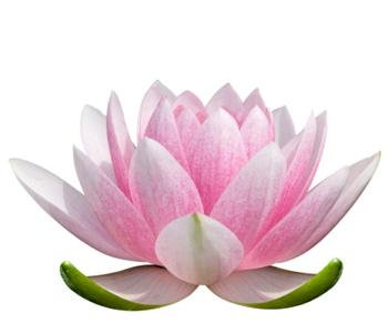 lotus-flower-2.jpg 350×300 pixels
