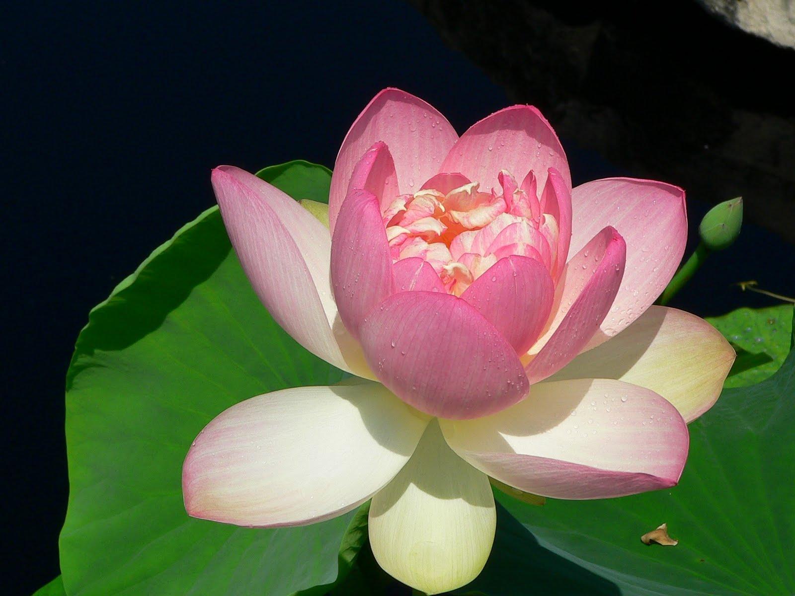 lotusflower.JPG 1,600×1,200 pixels