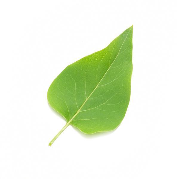 4541lilac_leaf.jpg 600×600 pixels