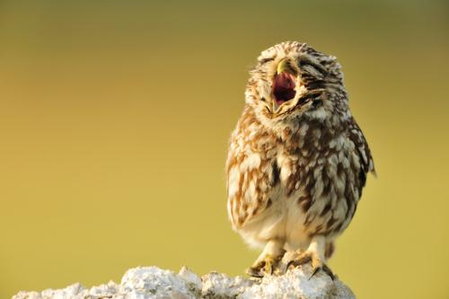 Ruines Humaines , Yawning Little owl by Yves Adams