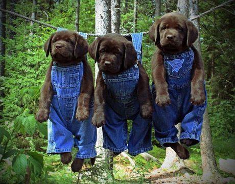Corgis and Boobs!, ibrokeitagain: Redneck puppies? Ok. OH GOD.