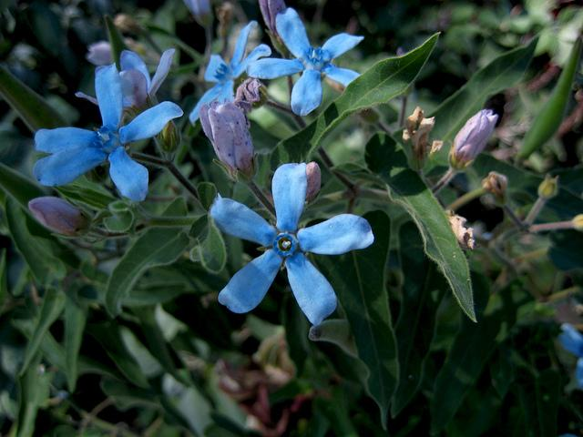 Blue Tweedia aka Southern Star | Flickr - Photo Sharing!