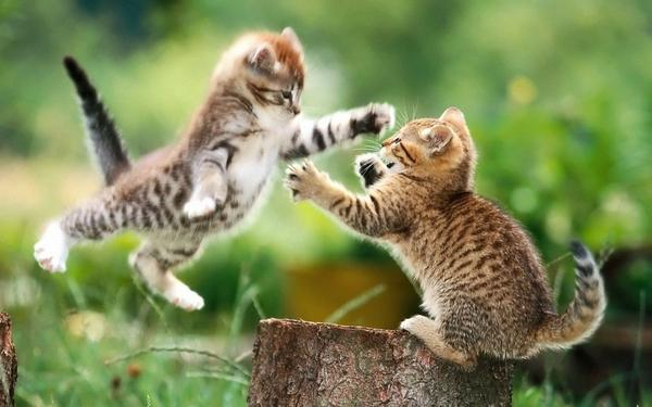 cats,animals cats animals fight kittens 1920x1200 wallpaper – Cats Wallpapers – Free Desktop Wallpapers