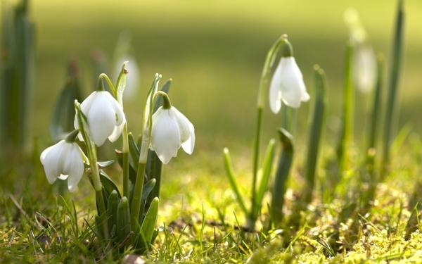 nature,flowers nature flowers spring snowdrops white flowers 2560x1600 wallpaper – flowers Wallpapers – Free Desktop Wallpapers