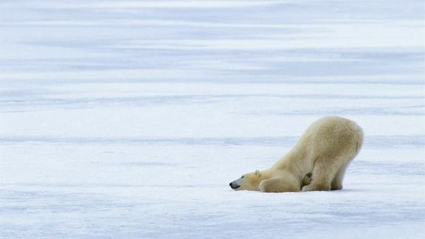 animals,polar bears animals polar bears 1920x1080 wallpaper – Bears Wallpapers – Free Desktop Wallpapers