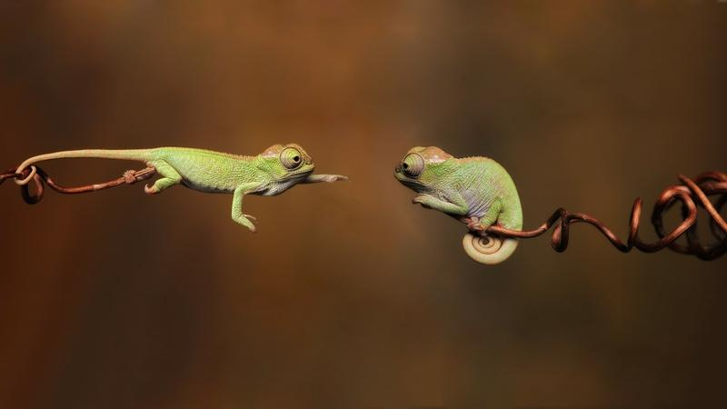 animals,nature nature animals chameleons brown lizards 1920x1080 wallpaper – animals,nature nature animals chameleons brown lizards 1920x1080 wallpaper – Animal Wallpaper – Desktop Wallpaper