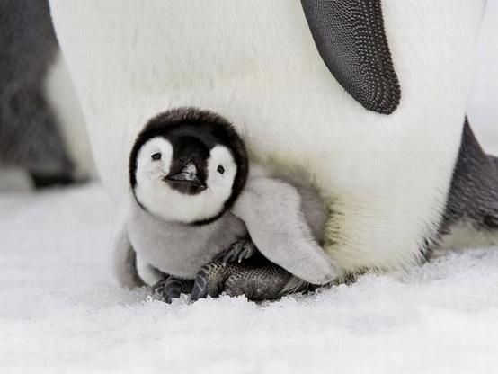 the cutest animals on earth. / penguin