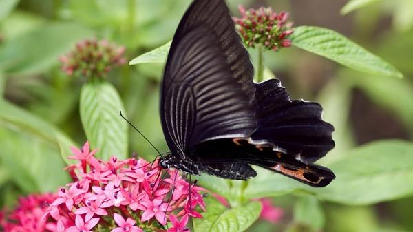 butterfly,insects butterfly insects 1920x1080 wallpaper – Butterflies Wallpapers – Free Desktop Wallpapers