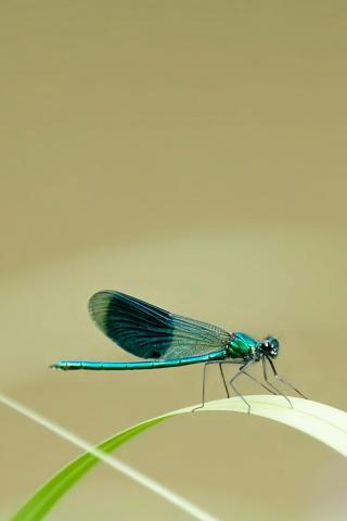 Dragonfly iPhone Hd Wallpaper Free iPhone Wallpapers and Backgrounds | WallpaperLa