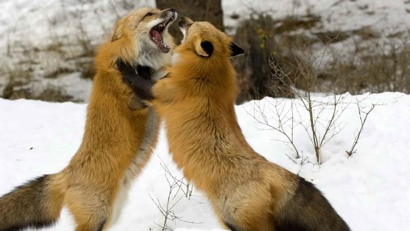 winter,snow winter snow fighting foxes 1920x1080 wallpaper – winter,snow winter snow fighting foxes 1920x1080 wallpaper – Snow Wallpaper – Desktop Wallpaper