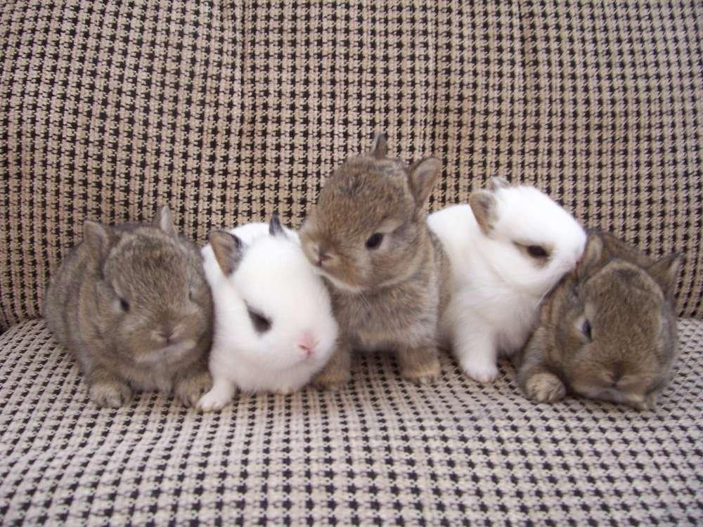 So Sweet Dwarf Rabbit Pics Dwarf-Rabbit15 –
