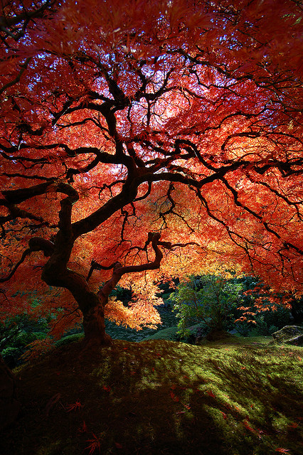 Japanese Maple Tree Shadows | Flickr - Photo Sharing!