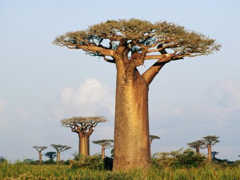Giant Baobabs (Adansonia Grandidieri) Dotting the Countryside Near Morondava Photographic Print by Karl Lehmann at Art.com
