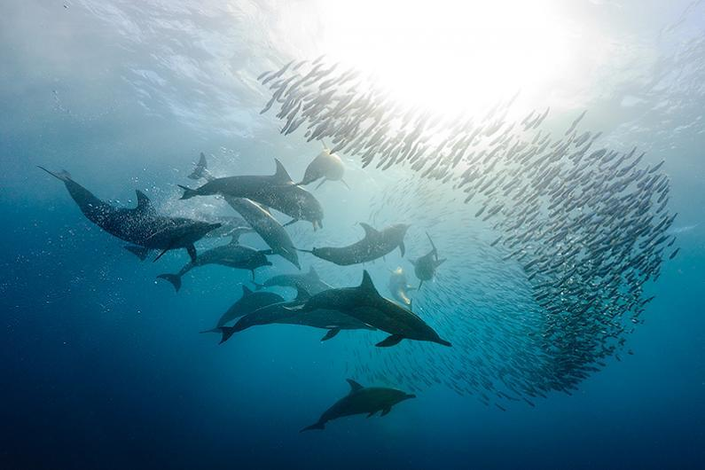 Sardine run photo gallery by Dmitry Miroshnikov | Discover Wildlife