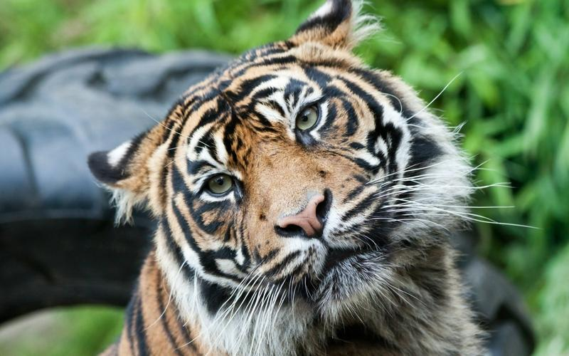 animals,tigers animals tigers feline 2560x1600 wallpaper – animals,tigers animals tigers feline 2560x1600 wallpaper – Animal Wallpaper – Desktop Wallpaper