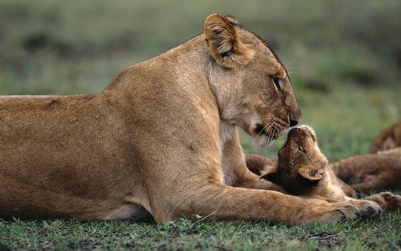 nature,lions nature lions baby animals 1920x1200 wallpaper – nature,lions nature lions baby animals 1920x1200 wallpaper – Lion Wallpaper – Desktop Wallpaper