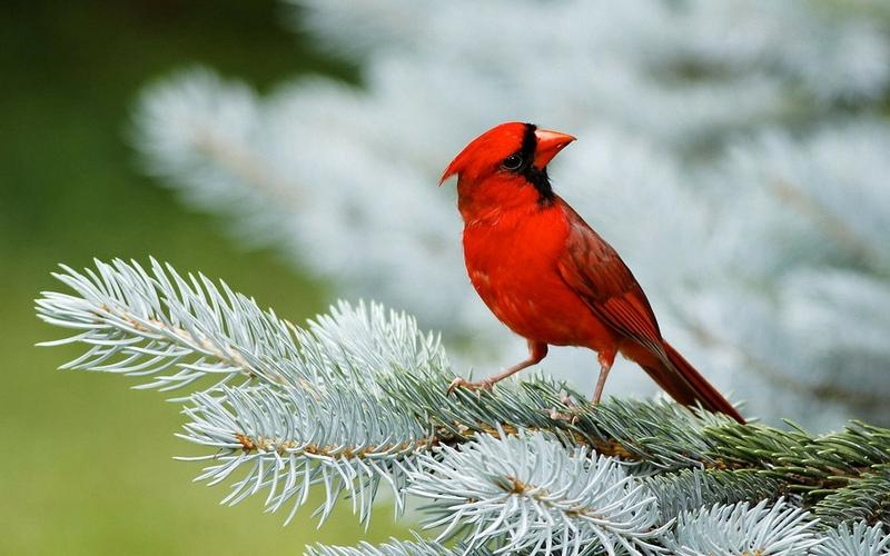 nature,trees nature trees birds animals cardinal macro depth of field pine 1920x1200 wallpaper – nature,trees nature trees birds animals cardinal macro depth of field pine 1920x1200 wallpaper – Fields Wallpaper – Desktop Wallpaper