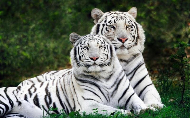 nature,animals nature animals tigers white tiger 1920x1200 wallpaper – nature,animals nature animals tigers white tiger 1920x1200 wallpaper – Tiger Wallpaper – Desktop Wallpaper