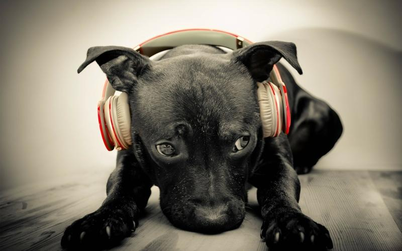 headphones,black headphones black red animals dogs puppies beats by drdre labrador retriever beats adorable 2560x – headphones,black headphones black red animals dogs puppies beats by drdre labrador retriever beats adorable 2560x – Animal Wallpaper – Desktop Wallpaper