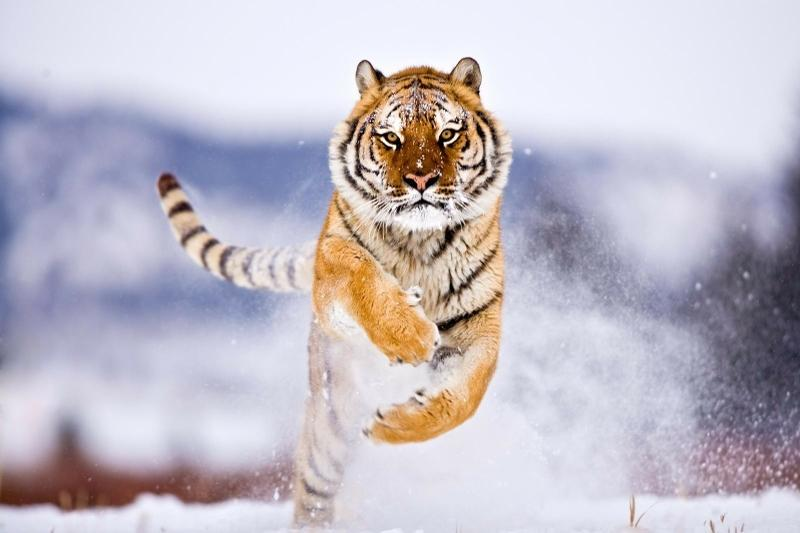snow,cats snow cats animals tigers running 1600x1067 wallpaper – snow,cats snow cats animals tigers running 1600x1067 wallpaper – Tiger Wallpaper – Desktop Wallpaper