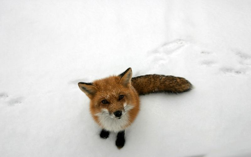 animals,snow snow animals fox 1680x1050 wallpaper – animals,snow snow animals fox 1680x1050 wallpaper – Snow Wallpaper – Desktop Wallpaper