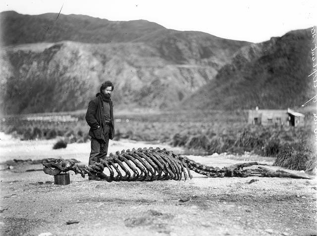 All sizes | Skeleton of sea-elephant & Harold Hamilton | Flickr - Photo Sharing!