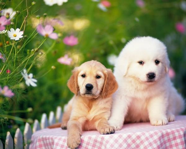 animals,dogs animals dogs puppies 1280x1024 wallpaper – animals,dogs animals dogs puppies 1280x1024 wallpaper – Dogs Wallpaper – Desktop Wallpaper