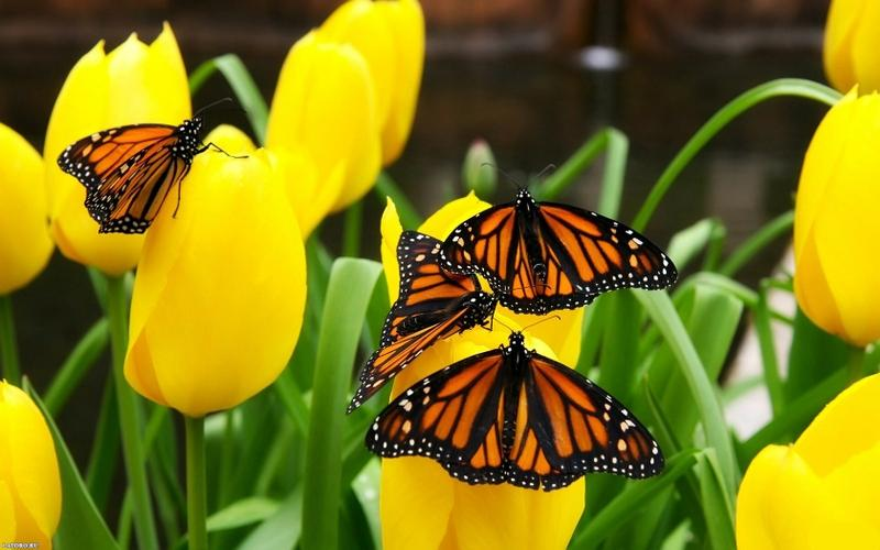 flowers,butterflies flowers butterflies 1680x1050 wallpaper – flowers,butterflies flowers butterflies 1680x1050 wallpaper – Butterflies Wallpaper – Desktop Wallpaper