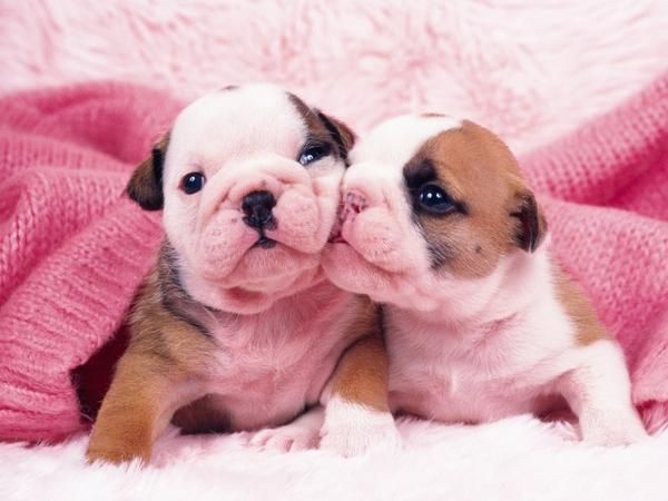 pink,puppies pink puppies 1600x1200 wallpaper – pink,puppies pink puppies 1600x1200 wallpaper – Puppies Wallpaper – Desktop Wallpaper
